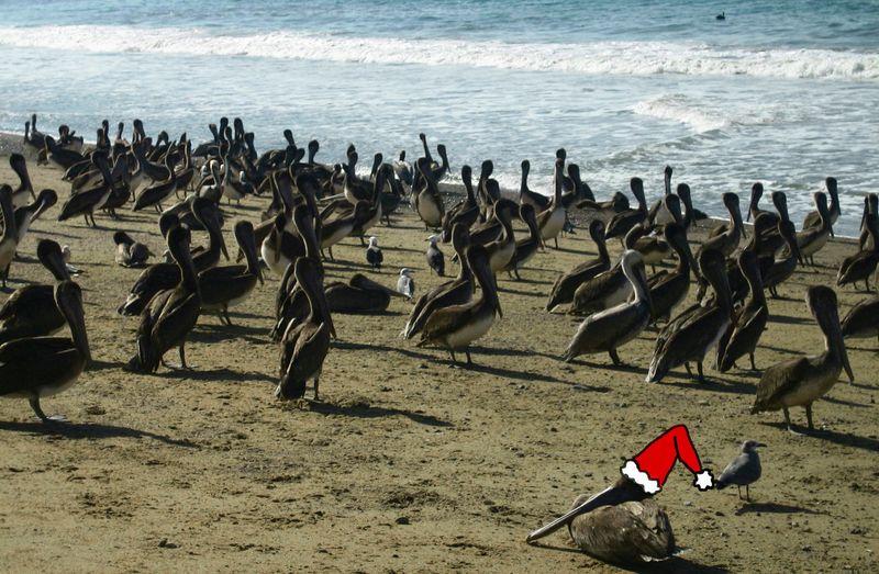 Xmas pelican