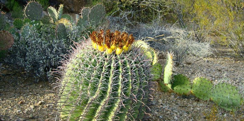 Fish hook barrel cactus in desert