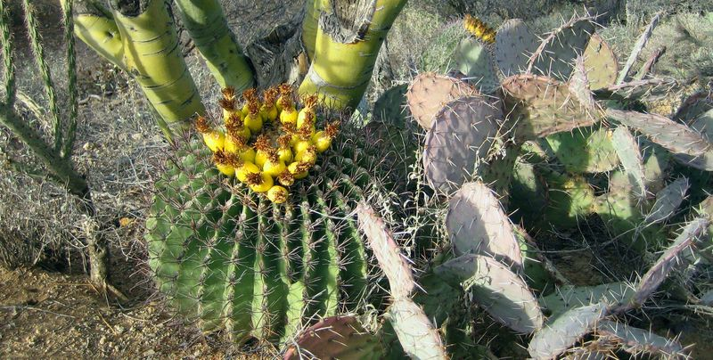 Fish hook barrel cactus pic