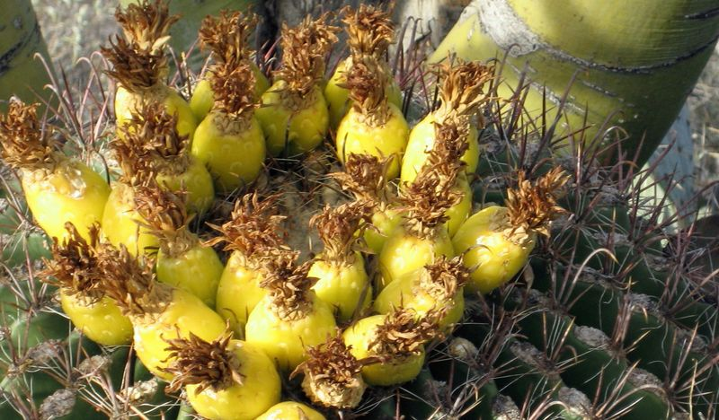 Fish hook barrel cactus fruit