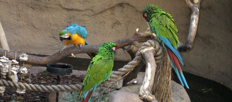 Zoo 13 macaws