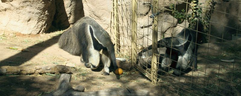 Zoo 16 anteater