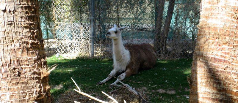 Zoo 19 llama