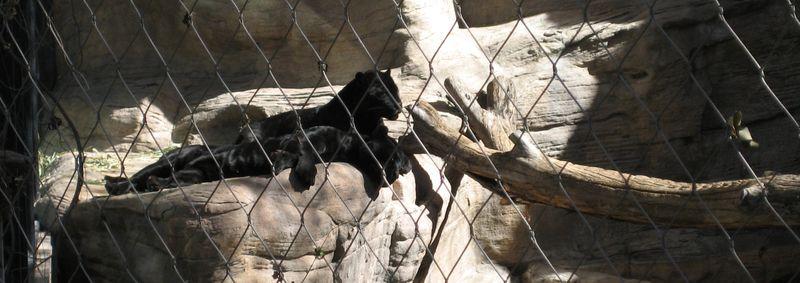 Zoo 24 black jaguars
