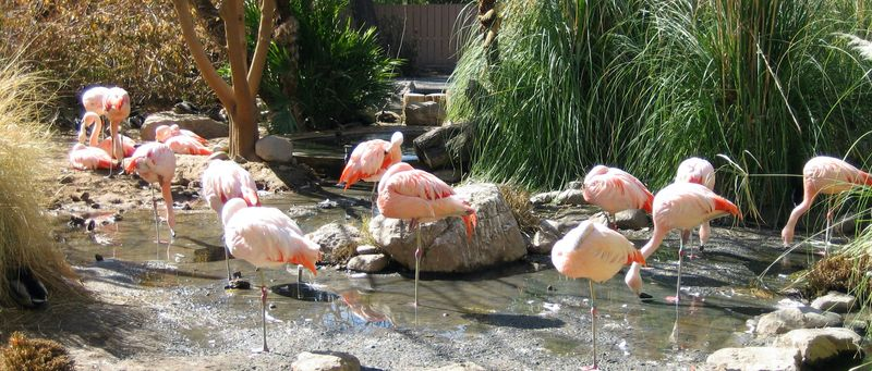 Zoo 401 flamingos in the sun