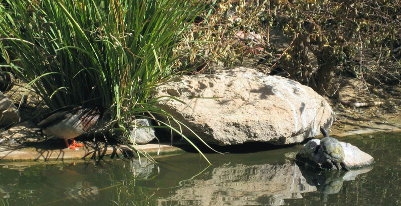 Zoo 41 turtle sunning himself on a rock while a duck spies on him