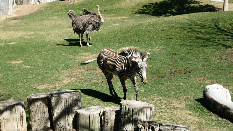 Zoo 62 grevys zebra