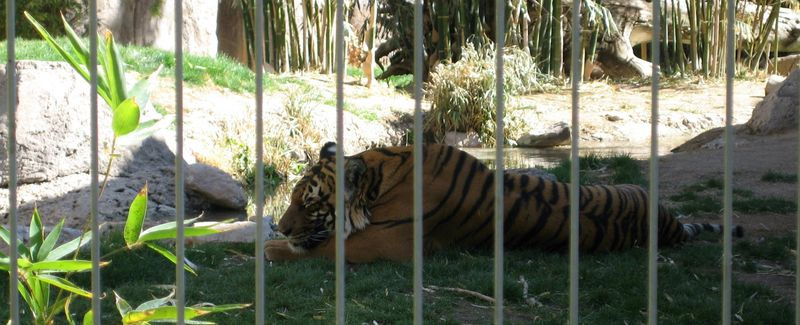 Zoo 69 actually, sleeping tiger