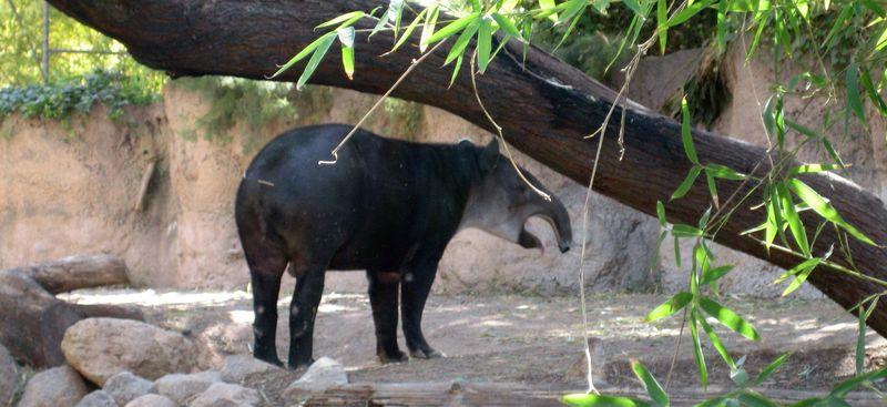 Zoo 23 tapir yawning