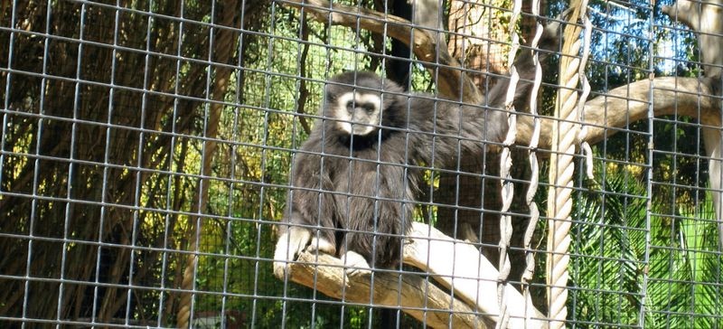 Zoo 26 gibbons