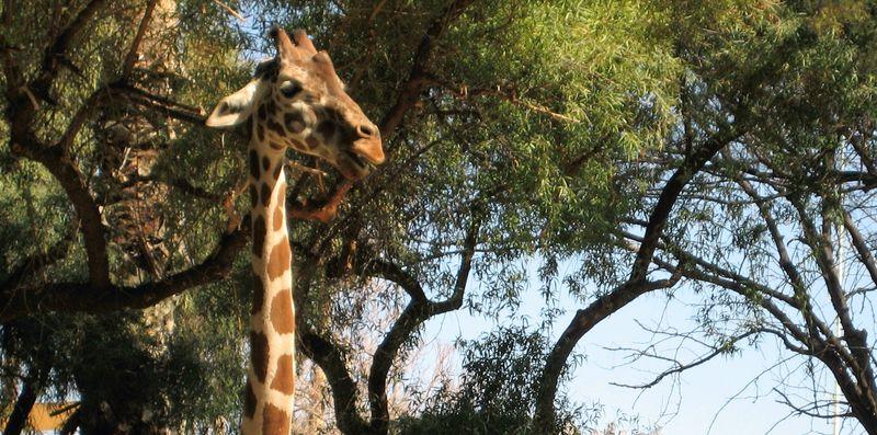 Zoo 45 giraffe in a staredown