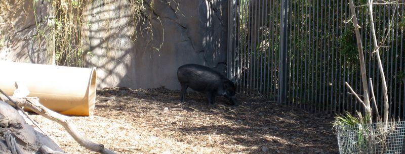 Zoo 66 warthog