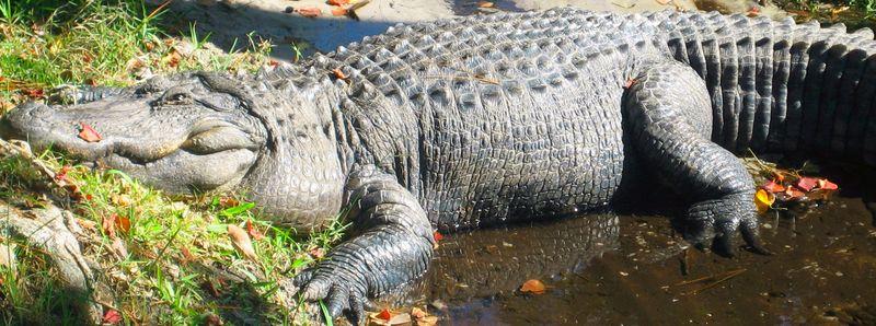 1000 pounds of gator