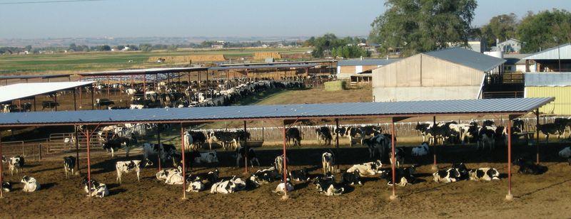 Lotsa cows in Utah