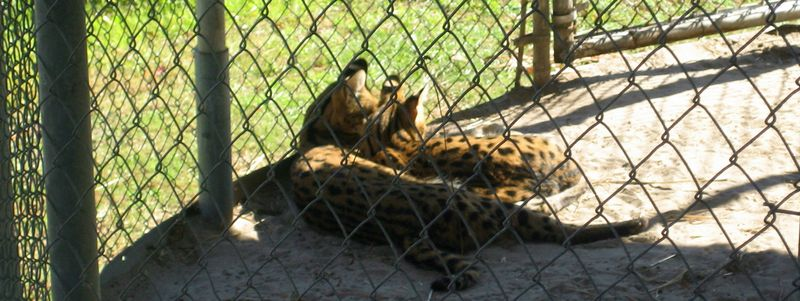 Baby serval cats born August 24th