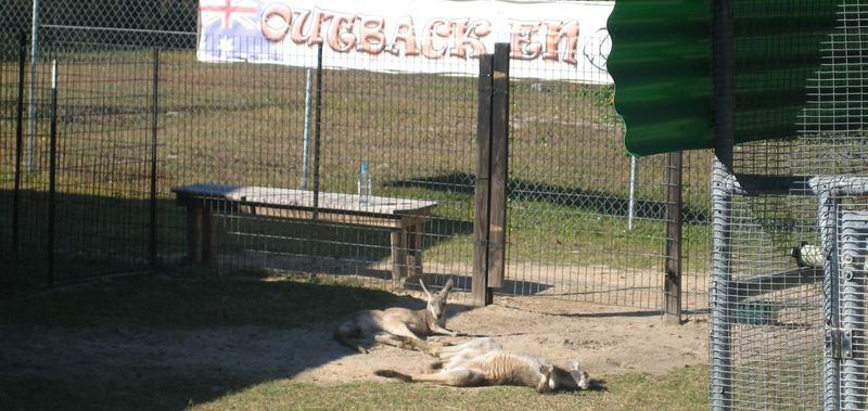 Kangaroos stretched out in the sunshine