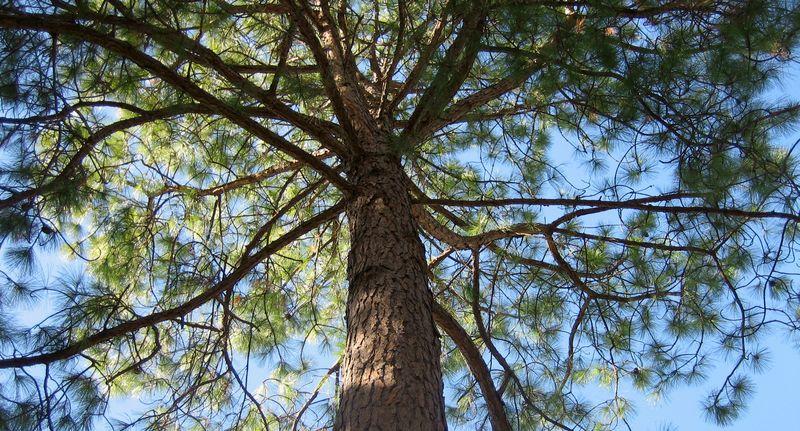 Historic moon tree