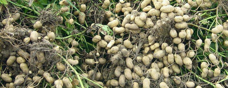 Peanuts grow like carrots