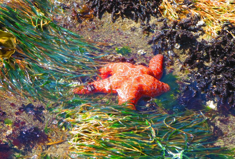 Starfish in the kelp