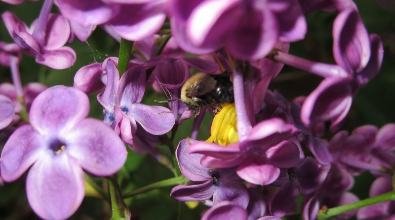 Wasp in the lilacs
