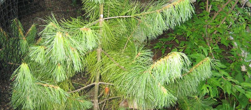 Some kind of spruce