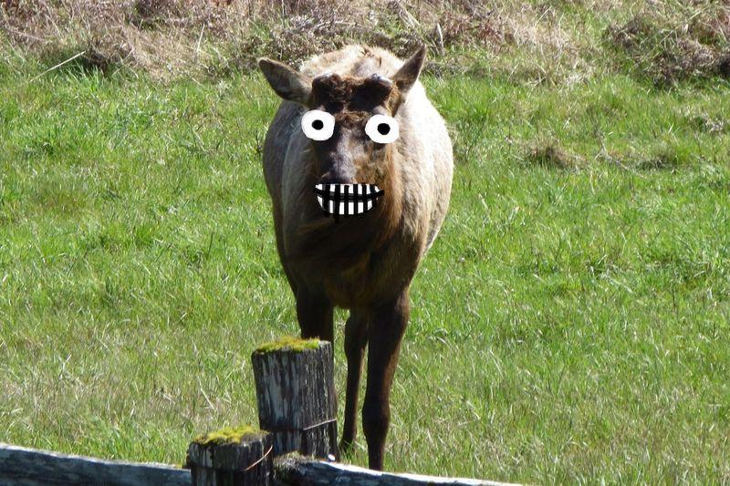 Startled elk