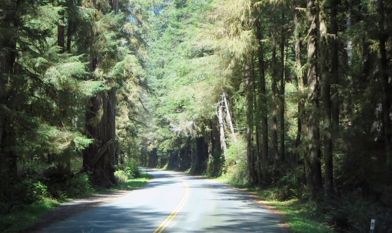 Redwood forest in the sun