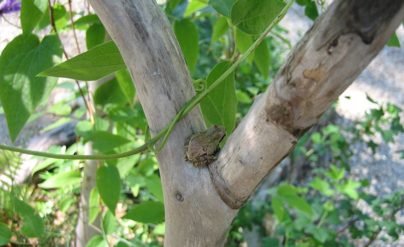 Little tree frog