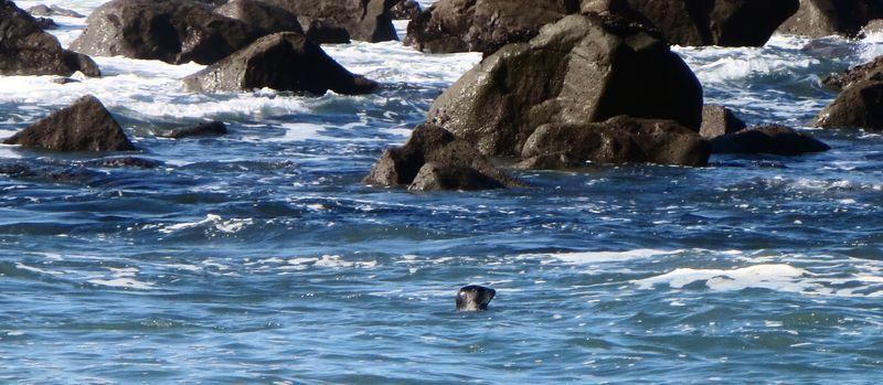 Seal bobbing along the water