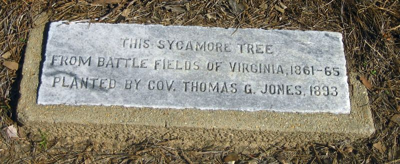 Legend of the big sycamore tree