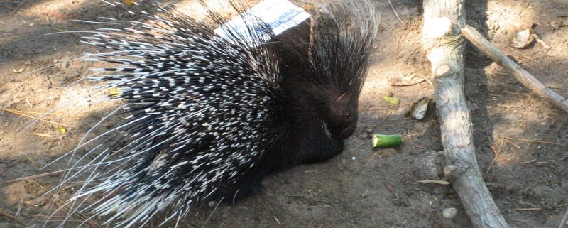 Prickly little porcupine very interested in that cucumber