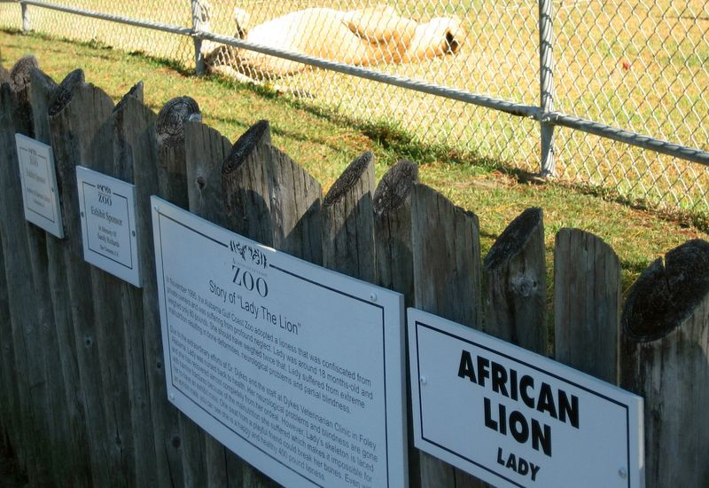 A sun lovin' African lion named 'Lady'
