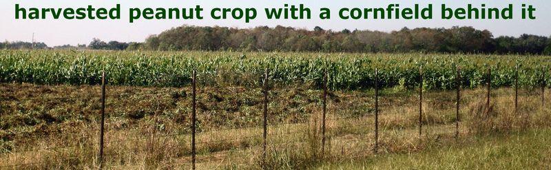 Cornfield behind the peanut crop