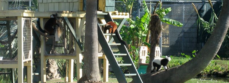 All lemurs do is eat, snooze and play