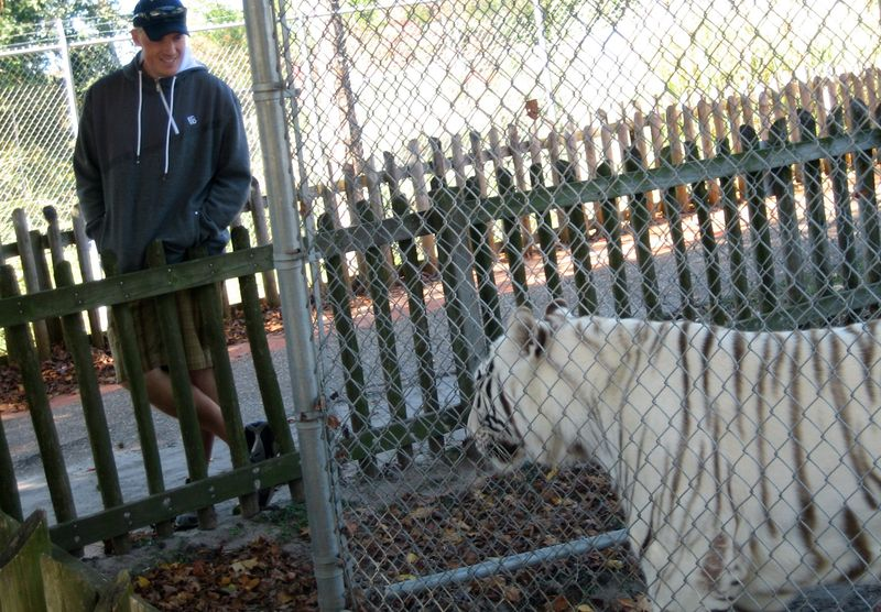 A chain link fence away from a gorgeous white bengal tiger