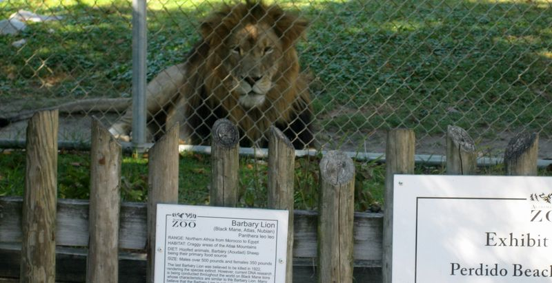 And this Barbary Lion couldn't take his eyes off my greasy locks - EVERYONE'S a critic!
