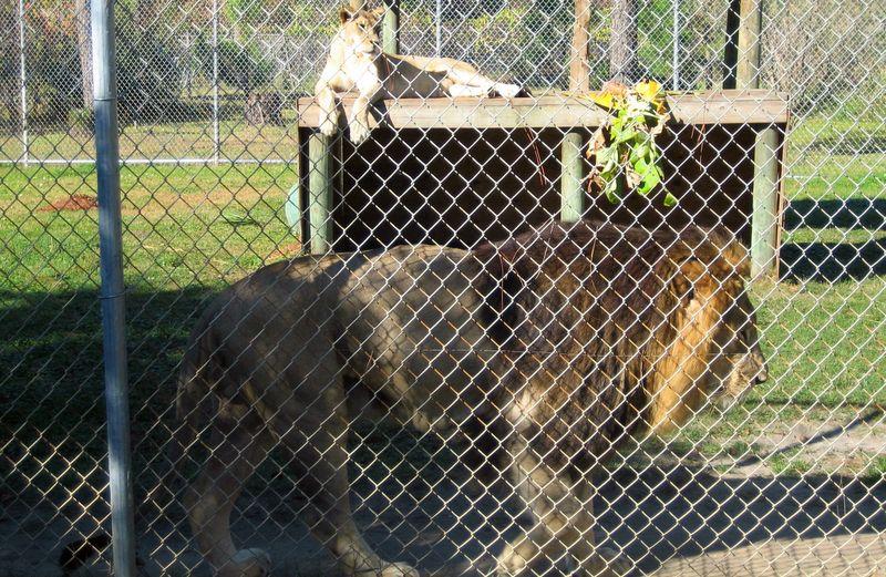The Gulf Coast Zoo has the best 'big cat exhibit' I've ever seen