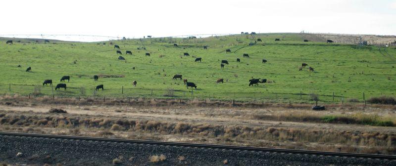 Teeny weeny little cows