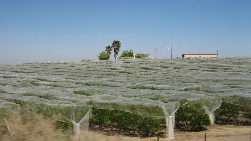 Trees covered in netting