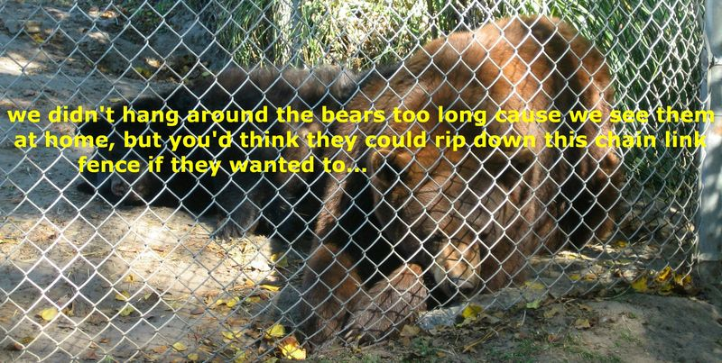 Seems to me these bears could get past this chain link fence if they really wanted to