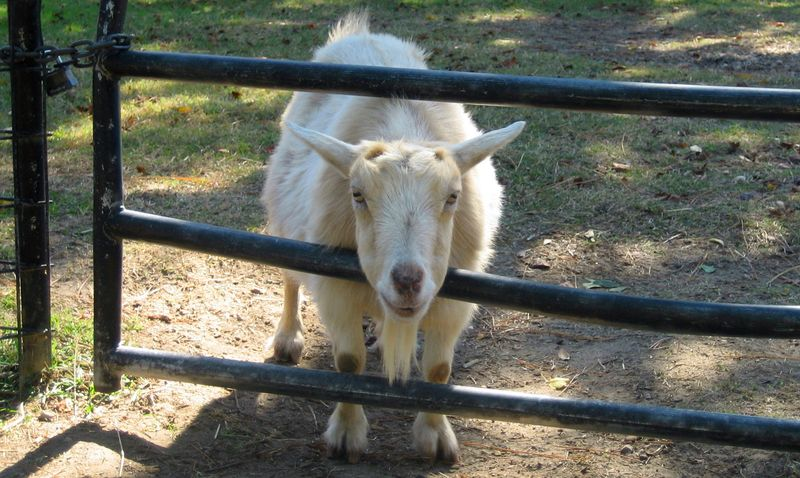 What's with you lady... haven't you ever seen a goodlookin' goat before